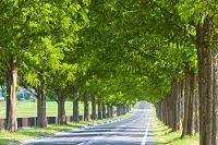 メタセコイア 並木道