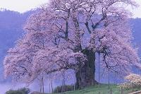 醍醐桜と朝霧の山里