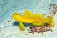 沖縄県 テッポウエビと共生するギンガハゼ(黄色個体)