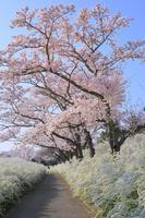 愛知県 愛知緑化センター 桜並木とユキヤナギ
