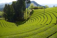京都和束の茶畑