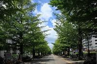 東京都 練馬区 光ガ丘公園 銀杏並木