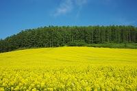 北海道 菜の花(キカラシ)