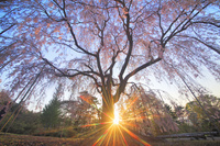 長野県 上田市 榮尚しだれ桜と夕日の木漏れ日の光