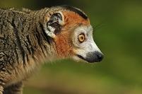 マダガスカル北部 カンムリキツネザル