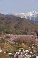長野県 伊那市 夕日に染まる高遠城址公園の桜と仙丈ヶ岳