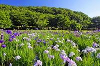 東京都 北山公園 ハナショウブ