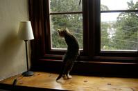 窓の外を見つめる子猫