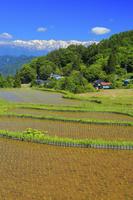 長野県 早苗の水田と残雪の北アルプス後立山連峰
