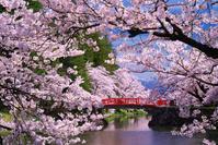 山形県 桜咲く春の松が岬公園