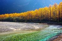 長野県 上高地 梓川 カラマツの紅葉