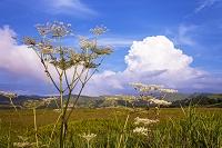 長野県 八島ケ原湿原のシシウドと積乱雲