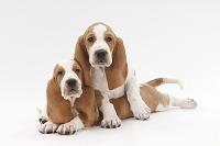 バセットハウンド 2頭の仔犬