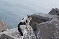 テトラポッドの上を歩くキジ白猫