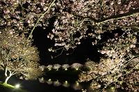 静岡県 南伊豆 みなみの桜