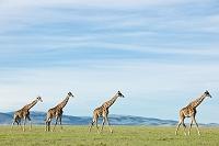 ケニア マサイマラ国立保護区 キリン