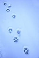 インド ザンスカール チャダルの雪豹の足跡