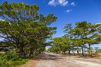 沖縄県 仲原馬場の松並木