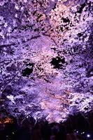 新潟県 上越市 高田公園 桜 夜桜