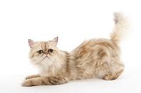 チンチラ猫 座っている子猫