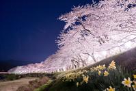 秋田県 桧木内川堤の夜桜