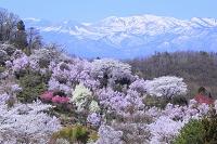 福島県 福島市 花見山 花園と吾妻連峰