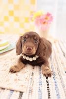 ミニチュアダックスフンド 犬