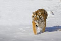 中国 黒竜江省 東北虎林園の虎