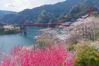 高知県 花桃と大渡ダム大橋