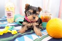 ヨークシャー・テリアの仔犬