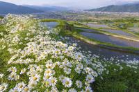 長野県 姨捨の棚田と花