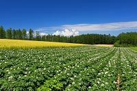 北海道 ジャガイモと麦畑