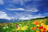長野県 白馬村 白馬岩岳ゆり園(閉園前)