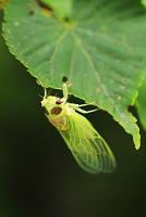 栃木県 蝉の羽化