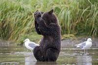 ハイイログマの子熊