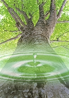 ブナの大木と水滴