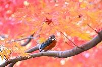 晩秋のカワセミ