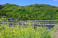 京都府 嵐山 渡月橋 カラシナ 桂川