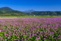 鳥取県 レンゲ畑と大山