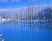 北海道・美瑛町 白金の青い池