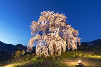 長野県 和美の桜(和美のしだれ桜)のライトアップ