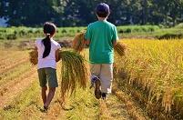 稲刈りを手伝う子等