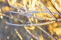 朝の輝く雨氷