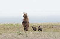 アラスカ ハイイログマの親子