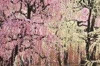 三重県 結城神社の枝垂れ紅梅と枝垂れ白梅