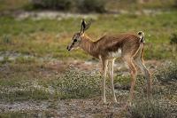 ナミビア エトーシャ国立公園 スプリングボック