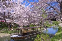 京都 伏見 濠川の桜