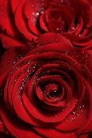 薔薇 ノーマル