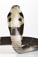 タイワンコブラ
