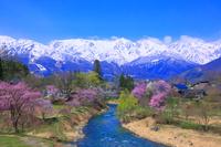 長野県 白馬村 大出公園の桜と北アルプス